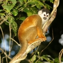 SQUIRREL MONKEY, Bosque del Cabo