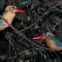 STORK-BILLED KINGFISHER, Sukau