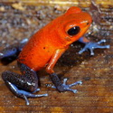 STRAWBERRY POISON FROG, Laguna Lagartos