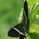 TROPICAL SWALLOWTAIL MOTH, Danum