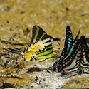 SWALLOWTAILS, Sukau