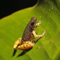 Saffron-bellied Frog