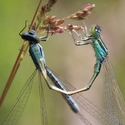 Scarce Blue-tailed Damselfly trying to couple a female Dainty Damselfly