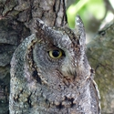Heracles' Scops Owl