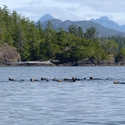 A raft of Sea Otters, Vancouver Island