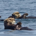 Rafting Sea Otters, Vancouver Island