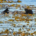 Sea Otter in the kelp