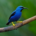 adult male Shining Honeycreeper
