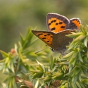 Small Copper, Pyrenees
