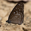 Striped Blue Crow (Euploea mulciber)