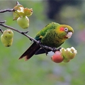 Sulphur-winged Parrot