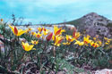 TULIPS IN THE TIEN SHAN