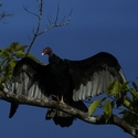 TURKEY VULTURE, Laguna Lagartos