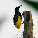Twelve-wired Bird of Paradise, Papua New Guinea