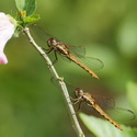 TWIN DRAGONFLIES, Bosque del Cabo