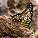 Tailed Green Jay (Graphium agamemnon) on elephant poo