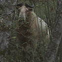 Takin at Foping, subspecies bedfordii