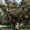 The Ancient Cork Oak - Coto Donana