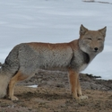 Tibetan Fox on the Chang Tang