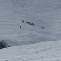 Tibetan Wolves on the move - the Chang Tang