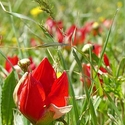 Tulipa doerferi on the Gious Cambos