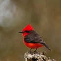 VERMILLION FLYCATCHER, Tucume