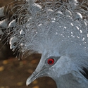 Victoria Crowned Pigeon, Loloata Island PNG