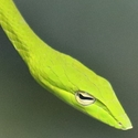Vine Snake at Kaeng Krachang NP