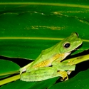 WALLACE'S FLYING FROG, Danum
