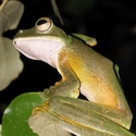 WALLACE'S FLYING FROG, Danum Valley