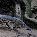 WATER MONITOR, Sukau