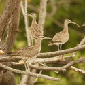 WHIMBREL, Tempisque
