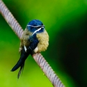 WHISKERED TREESWIFT, Danum