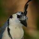 WHITE-THROATED MAGPIE-JAY, La Ensenada