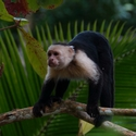 WHITE-FACED CAPUCHIN, Bosque del Cabo