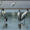WOOD STORKS, Tempisque River
