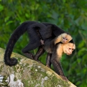 adult White-faced Capuchin with infant
