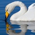 Whooper Swan reflection