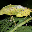 YELLOW KATYDID, Paujil