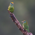 Yellow-fronted Barbets