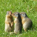 Young Columbian Ground Squirrels, Canadian Rockies