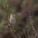 Zitting Cisticola with prey