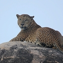Leopard on Leopard Rock
