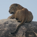 Leopard on Leopard Rock2