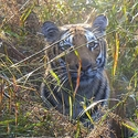 Tiger in the elephant grass