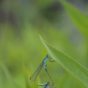 Blue-tailed Damselflies