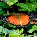 Red Lacewing Cethosia biblis