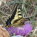 Pine Thistle and Common Swallowtail, Crete