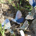 mud-puddling blues and skippers Muhinsky Valley Russian Caucasus