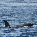 Orcas - on the Knights Inlet cruise, Vancouver Island